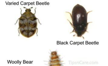 carpet beetle bites
