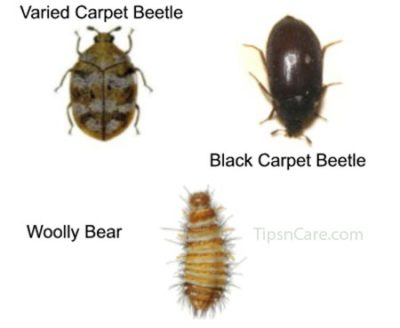 carpet beetle bites